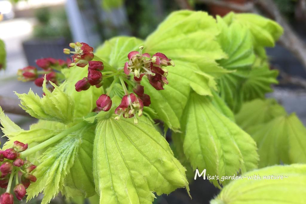 ハウチワカエデ の花