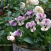 一年草 実は一年中咲く?ビオラ(Viola)のmisa's gardenでの育て方