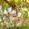 紅葉がきれいなモミジとカエデの違いは?