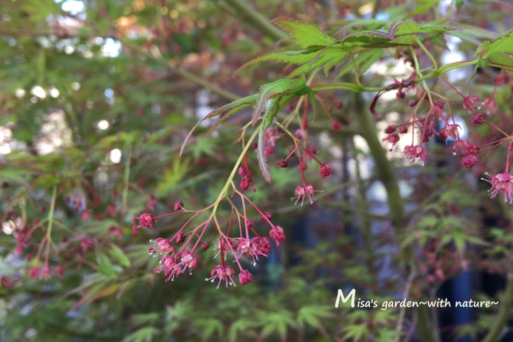 イロハモミジの花2