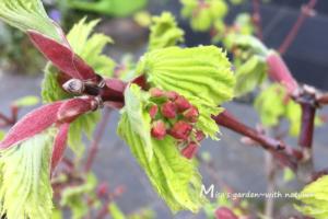 ハウチワカエデの新芽と蕾