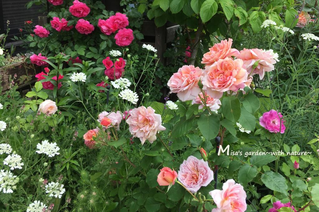 5月のバラ庭