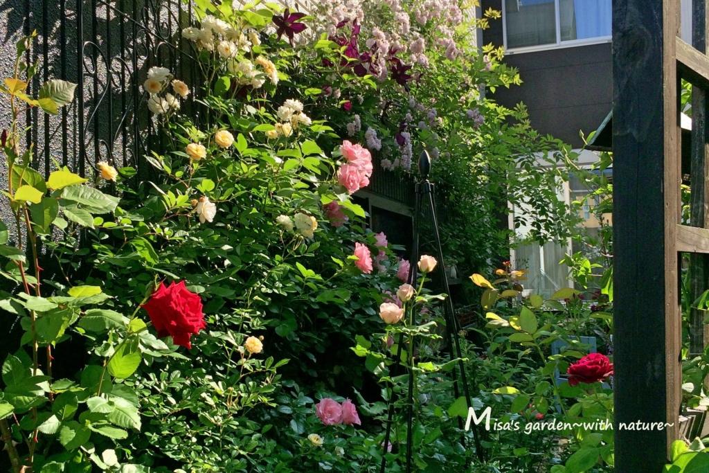 壁庭 バラ