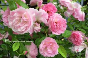 春がすみ(ピンクサマースノー)OGP