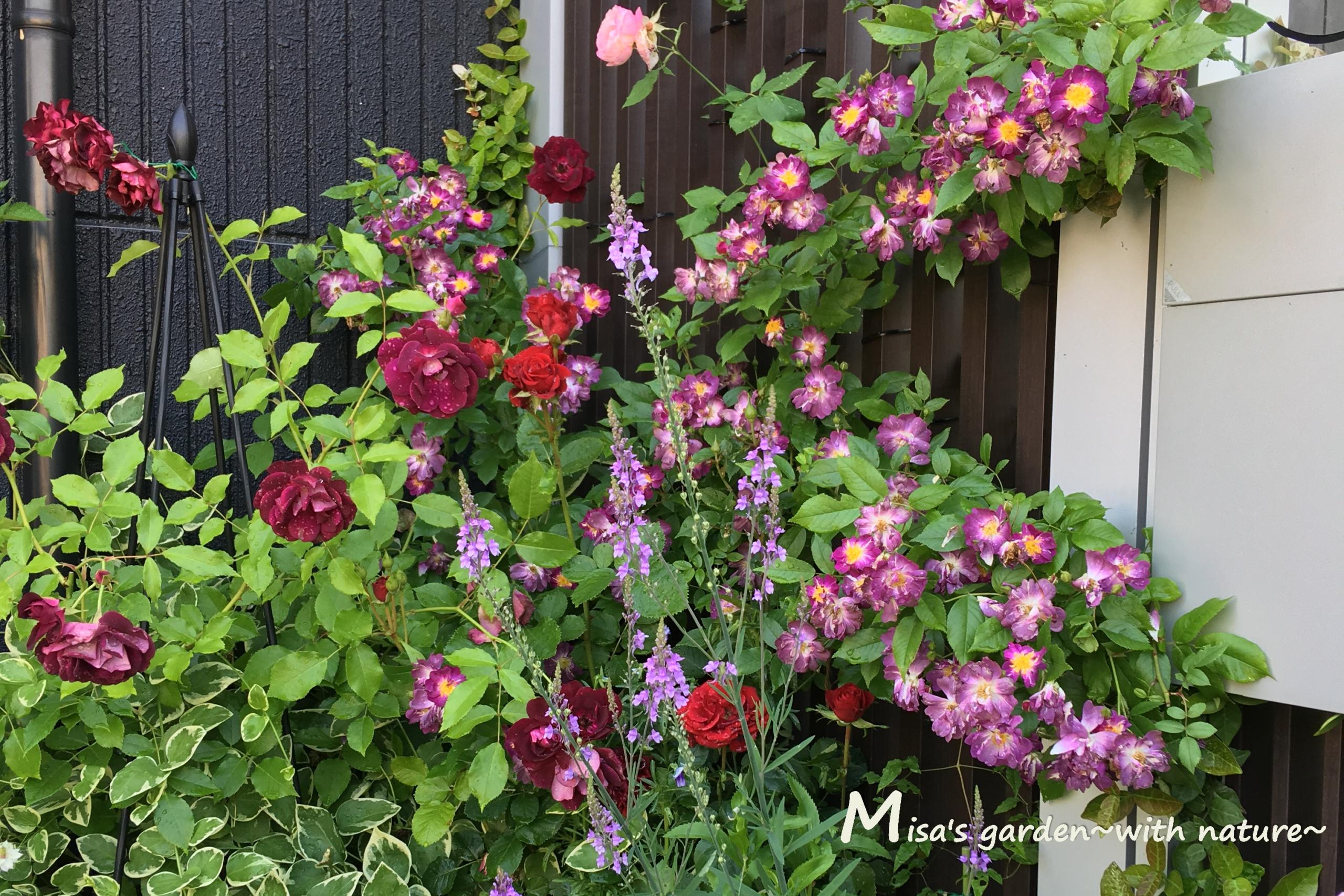 Fバーガンディアイスバーグとブルーランブラーの花壇