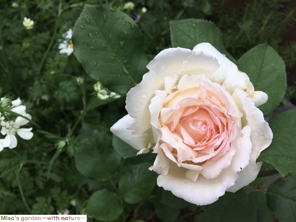 薫乃一番花