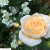 魅惑の香りを持つバラ FL薫乃(kaoruno)の育て方