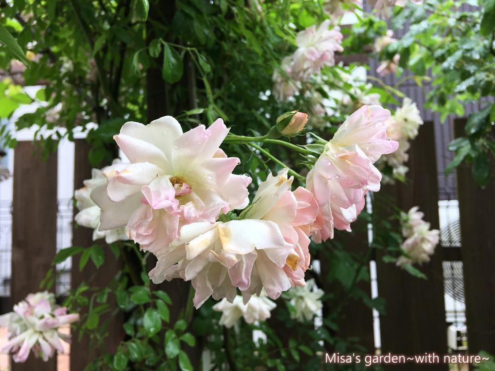 開花終盤 フィリスバイド200523