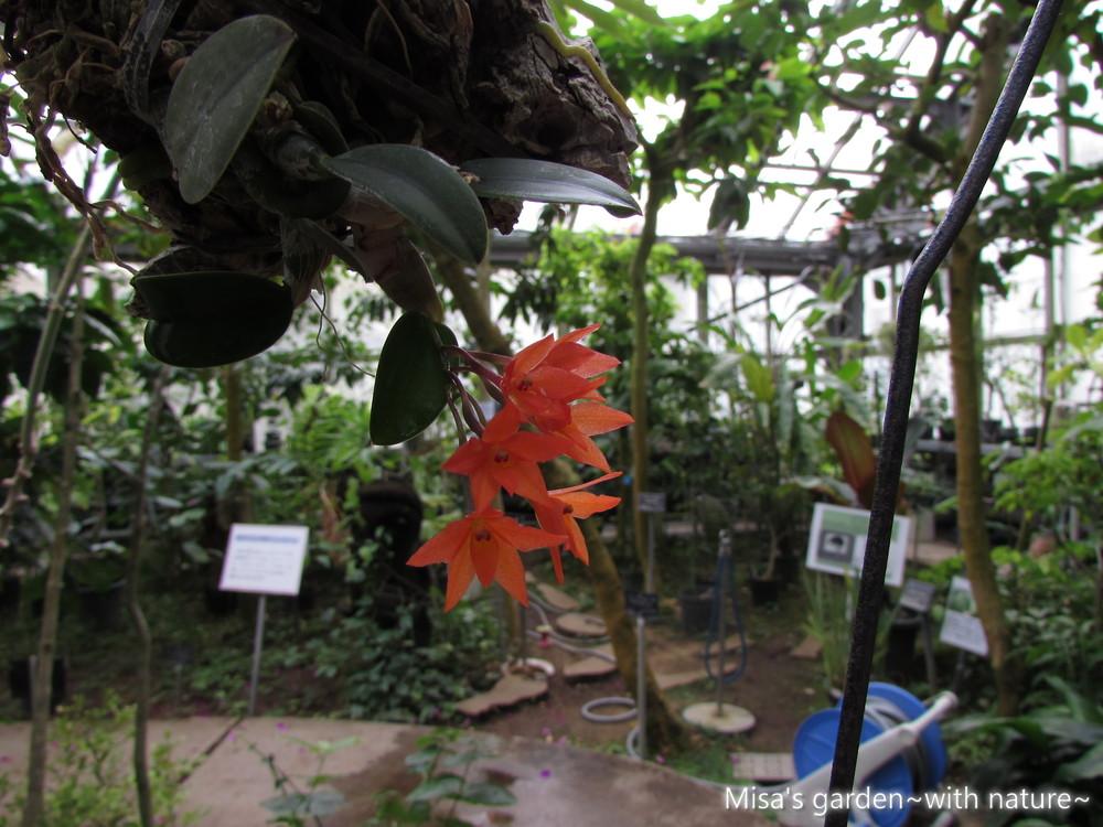 カトレア セルヌア Cattleya ceruna