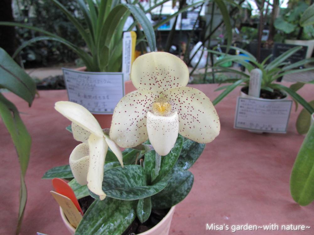 パフィオペディルムconcolor var chlorophyllum