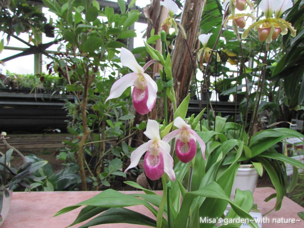 プラグミペディウム.カーディナル.ウィルコックス.Phragmipedium Cardinale 'Wilcox'