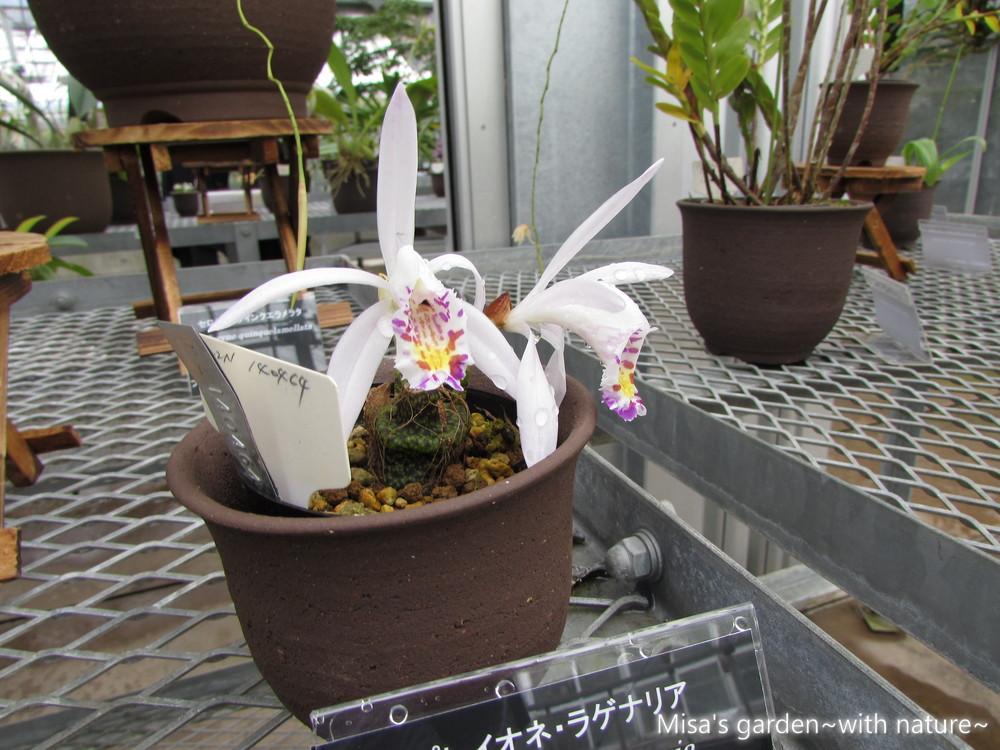 プレイオネ・ラゲナリアPleione × lagenaria