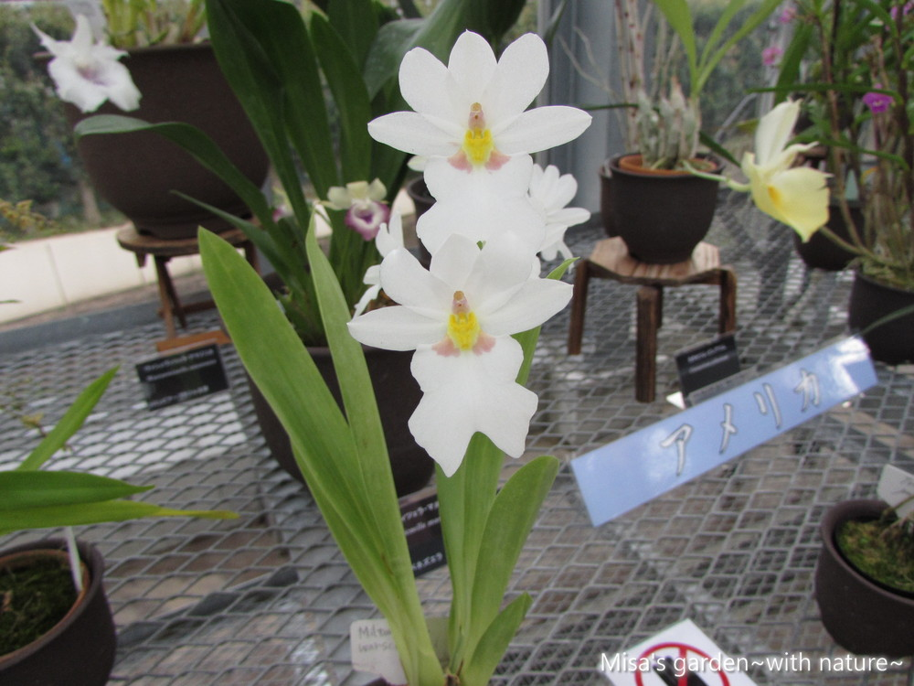 ミルトニオプシス ヴァシェヴィツィ Miltoniopsis warszewwiczii