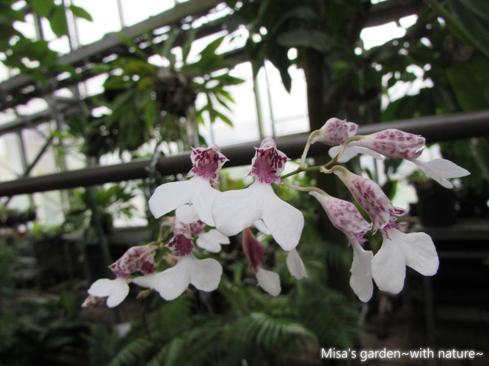ロドリゲチア・デコラ Rodriguezia decora