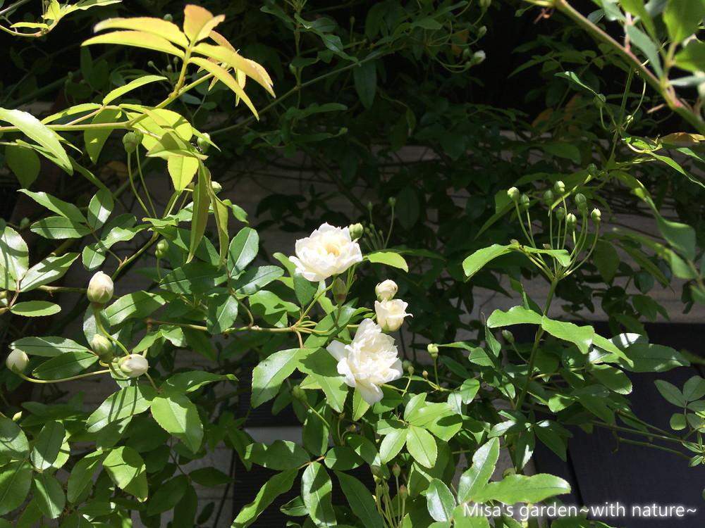 白モッコウバラ200410
