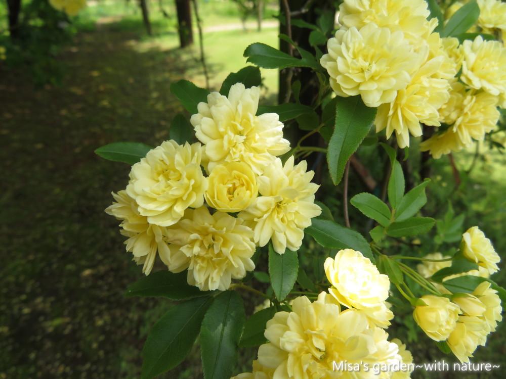 黄モッコウバラ190504