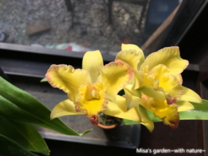 Rth.Singapore Lip'Naked Yellow'×Rlc.Tropical Starlight'Hakata Night'201227