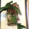 胡蝶蘭(コチョウラン)のコルク付けに挑戦