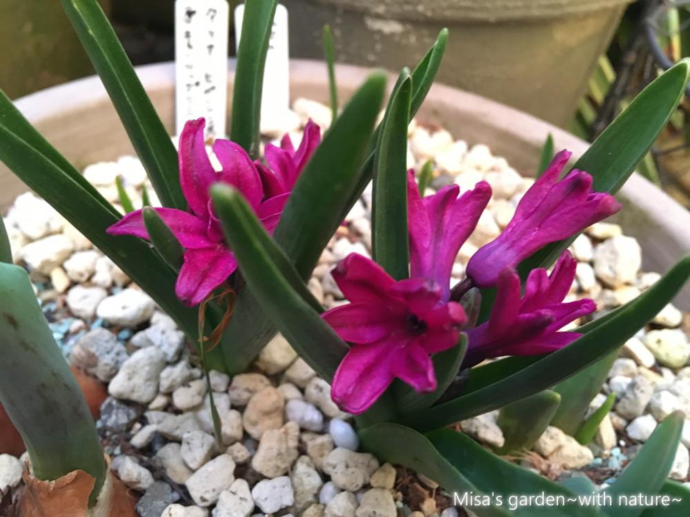 球根植物 ヒヤシンス210217
