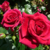 Breeding Roses the Dickson Way | Dickson Roses | United Kingdom