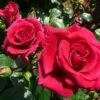 Breeding Roses the Dickson Way | Dickson Roses | United Kingdom